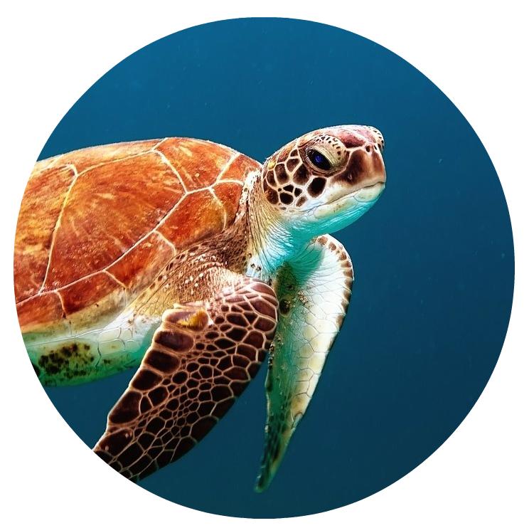 Foto van een zwemmende schildpad die staat voor rust, wijsheid en een lang leven.